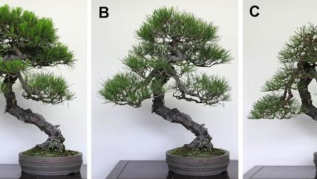 Üçüncü Adım - Seçtiğimiz Ağacın Artık Bir Bonsai Olması