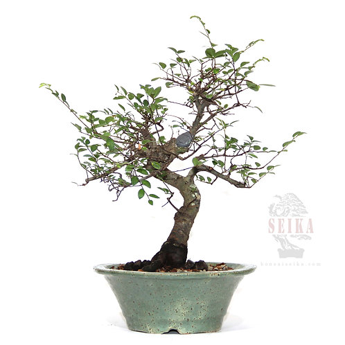 Çin Karaağacı Bonsai - Ulmus parvifolia No.16