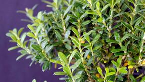 Şimşir - Buxus spp.
