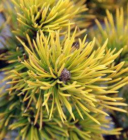Dağ (Mugo) Çamı - Pinus mugo