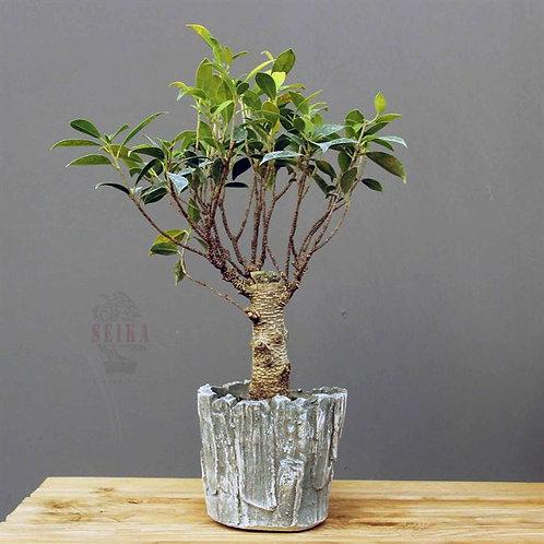 Ficus Microcarpa 'Tiger Bark'No.3