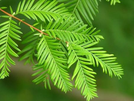 Su Ladini (Metasekoya) - Metasequoia glyptostroboides