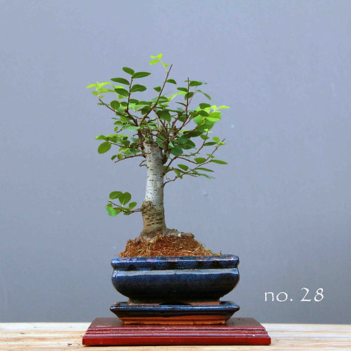 Çin Karaağacı Bonsai - Ulmus parvifolia No.28