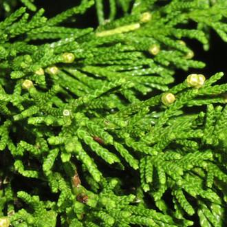 Ardıç Türleri - Juniperus spp.