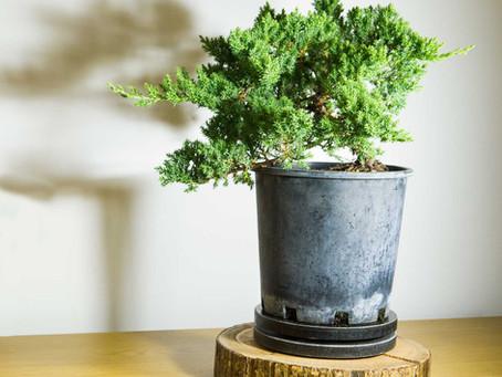 İlk Adım - Bonsai formuna sokmak için ağaç seçimi nasıl yapılır?