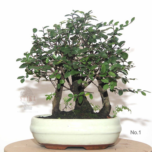 Çin Karaağacı Orman Bonsai (Üçlü - Küçük) - Ulmus parvifolia