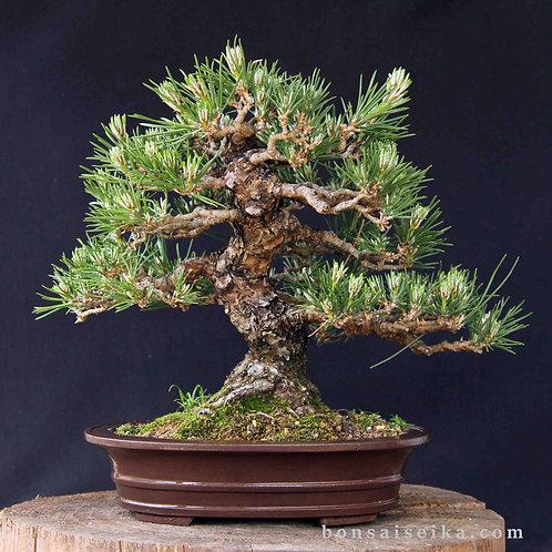 Japon Karaçamı Bonsai - Pinus thunbergii No.6