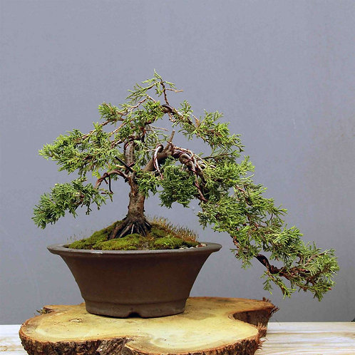 Çin Ardıcı Bonsai - Juniperus chinensis 'Pfitzeriana Aurea' No.2
