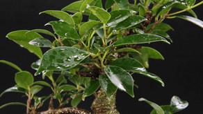 Ficus türleri (spp.)