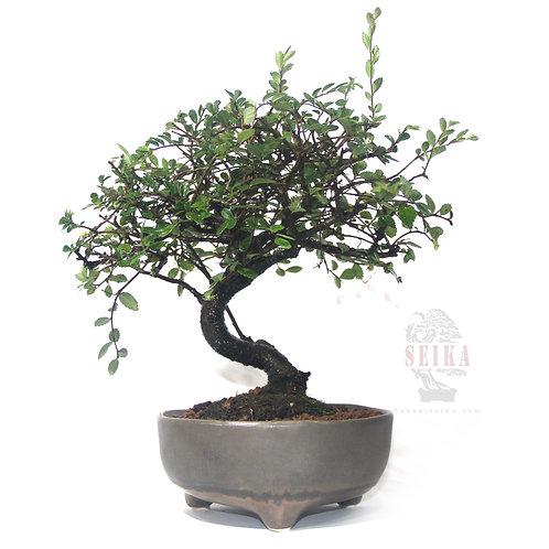 Çin Karaağacı Bonsai - Ulmus parvifolia No.19