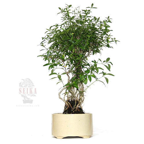 Serissa japonica Bonsai - No.1