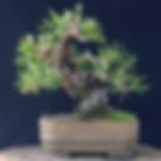 Japon Karaçamı, No.3 - 1.JPG