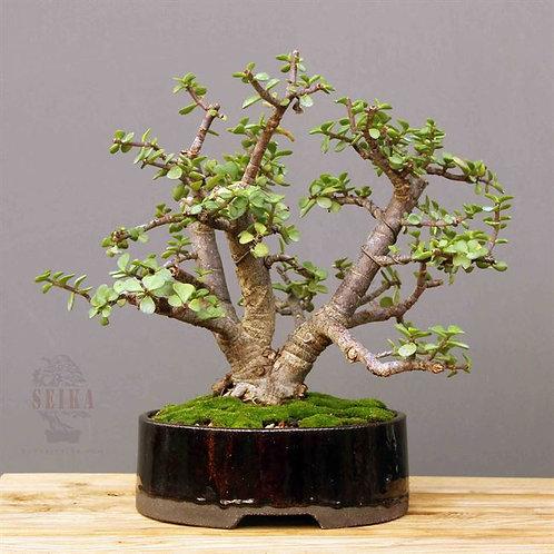 Yeşim Ağacı - Portulacaria afra No.8