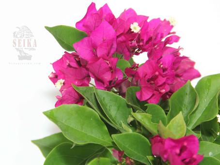 Begonvil - Bougainvillea spp.