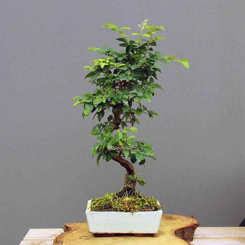 Ligustrum Sinensis Bonsai No.8