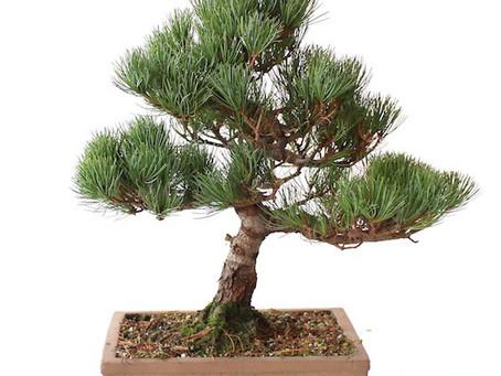 İkinci Adım - Seçtiğimiz Ağaca Yapılacak İlk İşlemler
