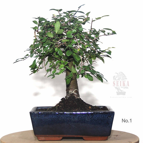Çin Karaağacı Bonsai (Küçük) - Ulmus parvifolia