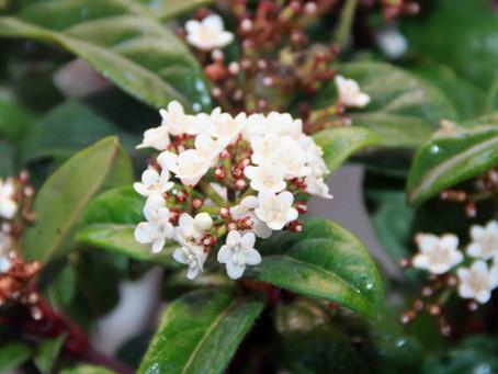 Defne Yapraklı Kartopu - Viburnum tines