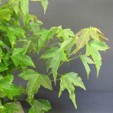 Üç Dişli Akçaağaç - Acer buergerianum