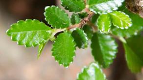 Çin Karaağacı - Ulmus Parvifolia