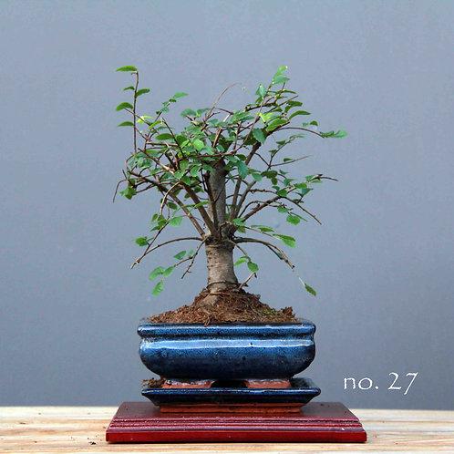 Çin Karaağacı Bonsai - Ulmus parvifolia No.27
