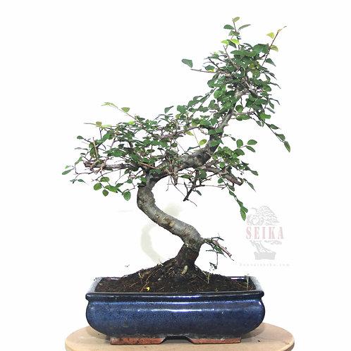 Çin Karaağacı 'S Gövde' Bonsai (Büyük) - Ulmus parvifolia