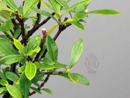 Gardenya - Gardenia jasminoides