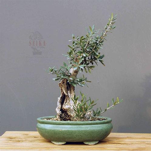Zeytin Bonsai - Olea Europaea Sylvestris No.25