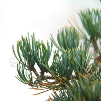 Japon Beyaz Çamı - Pinus parviflora