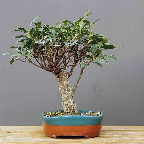 Ficus Microcarpa 'Tiger Bark'No.2