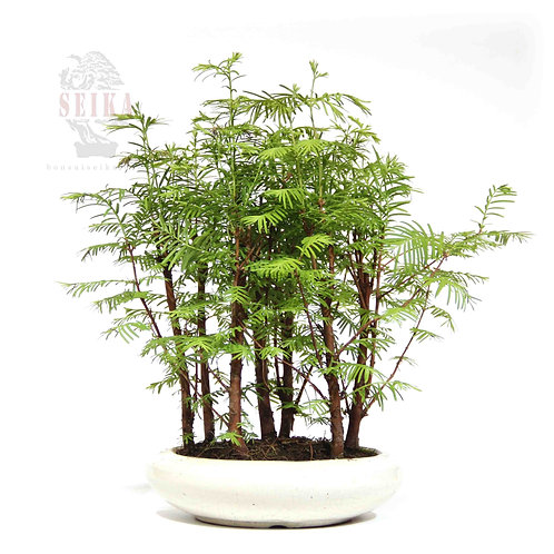 Su Ladini - Metasequoia glyptostroboides No.2