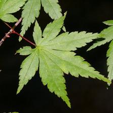 Japon Akçaağacı - Acer palmatum
