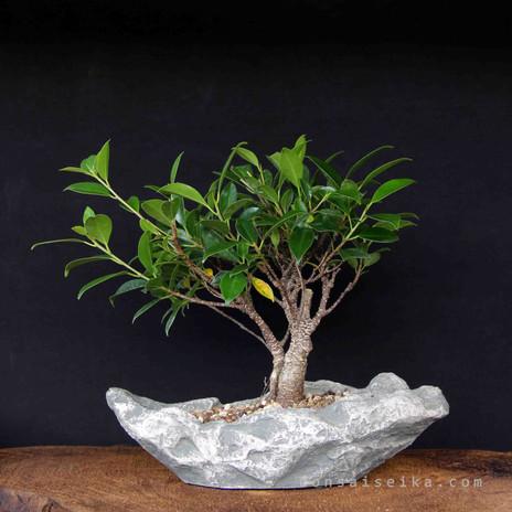 Ficus retusa - taş saksı (1).JPG