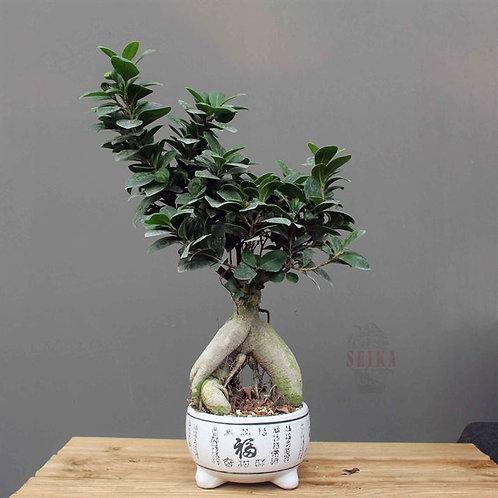 Ficus Microcarpa 'Ginseng' No.3