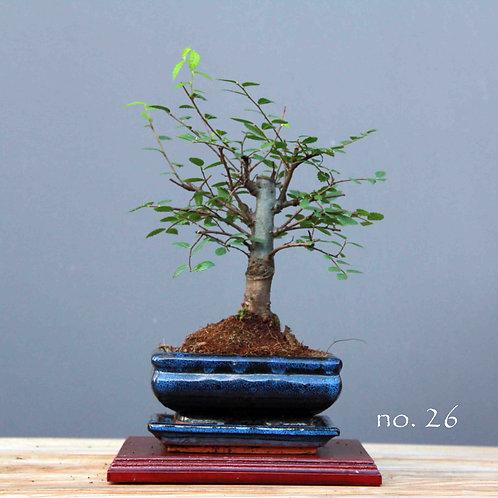 Çin Karaağacı Bonsai - Ulmus parvifolia No.26