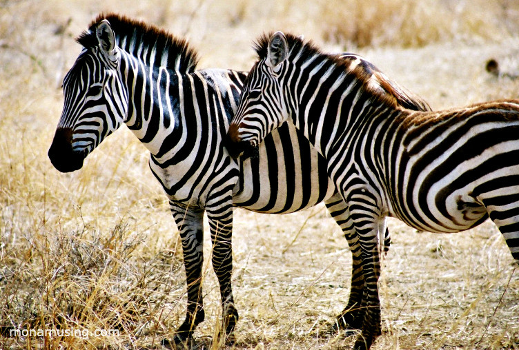 closeup of two zebras in Tanzania