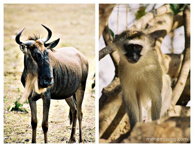 wildebeest and vervet monkey spotted on safari in Tanzania