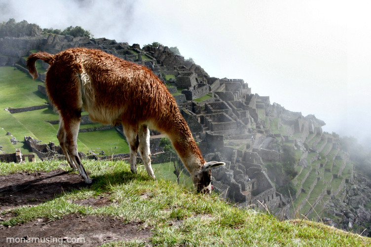 an alpaca grazes on a mountain overlooking the ruins of Machu Picchu