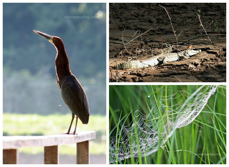 heron close-up, butterfy kissing a caiman and a glistening spiderweb in the Amazon rainforest