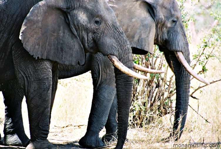 closeup of two elephants in Tarangire National Park, Tanzania