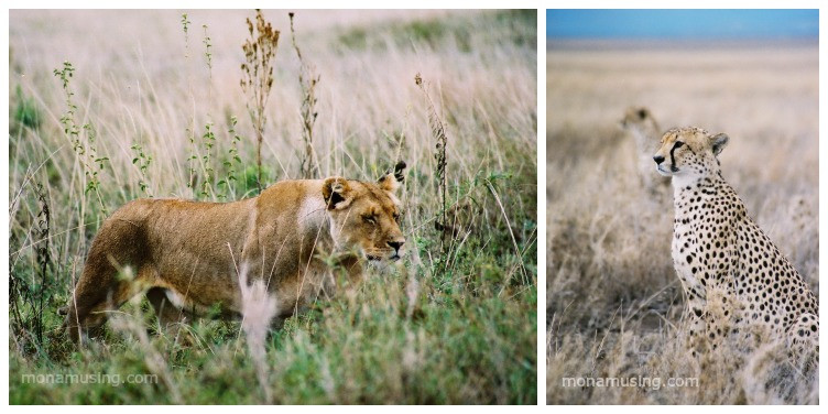 lioness and cheetah spotted on safari in Tanzania's Serengeti National Park
