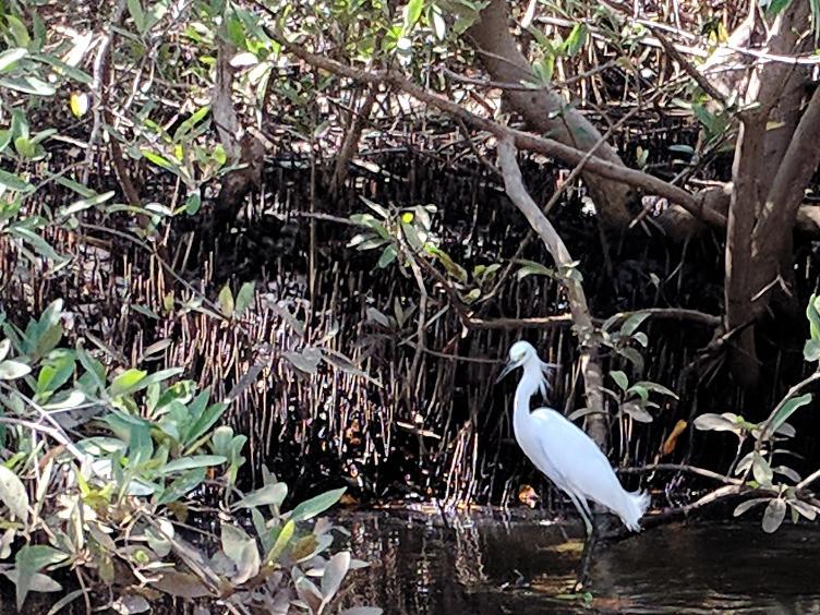 snowy egret in the San Juan Venado mangroves