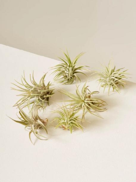 Six Assorted Air-Plants