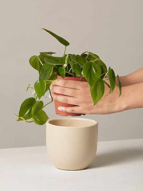 """7"""" Philodendron"""