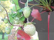 HAG-Strawberries-Gray.jpg