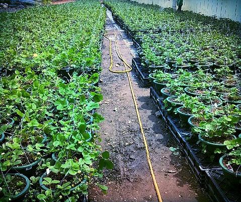 Bloem Hanging Planter Smart Spring Strawberry Planter