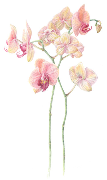 Two stem pastel orchid
