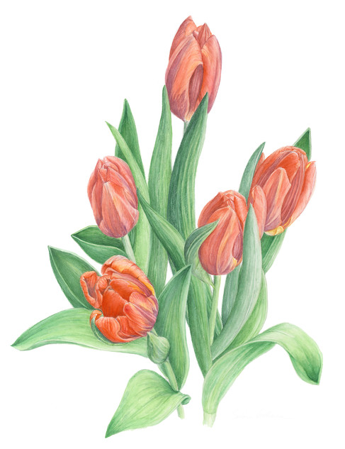 Dark Orange Tulips