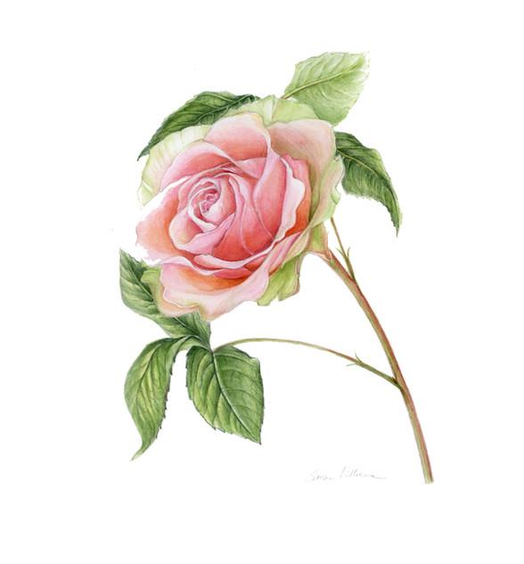 Rose Single Blush
