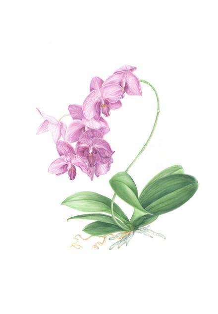 Single Stem Purple Orchid